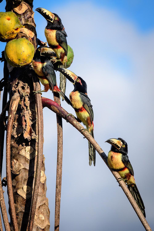 Tucan Collared Aracari birding Tulum Mexico
