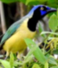 Observation d'oiseaux à Muyil - Yucatan Mexique – Tour guidé – Oiseaux - Nature - Culture – Photographie de la faune – site archéologique – communauté maya