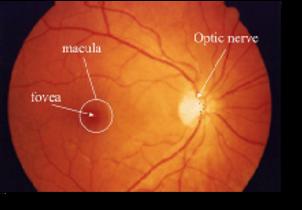 Rtina and macula
