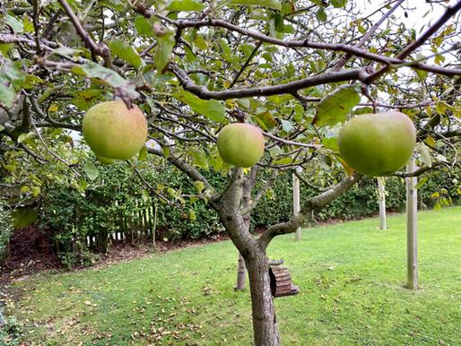 Checking the last Apple tree crop