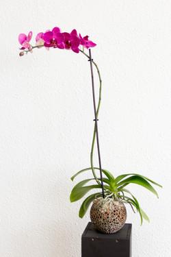 Kokedama phalaenopsis