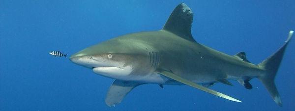 striscia squalo.jpg