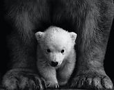 animal-animal-photography-bear-black-and