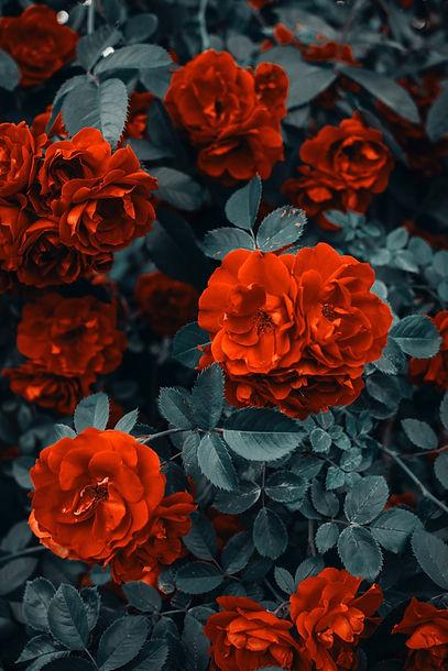 red-roses-1187079.jpg