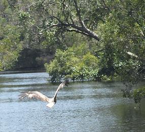 Everglades Eagle.JPG