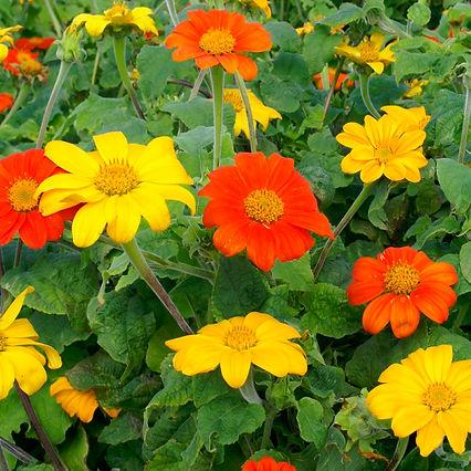 TorchandYellowTorchmexicansunflowermixRF
