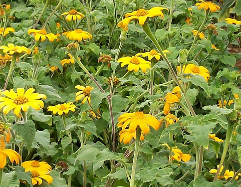 'Yellow Torch' Mexican Sunflower t. rotundifolia Quart Pot