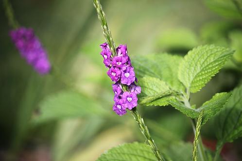 Lavender Porterweed s. mutabilis violacea Quart