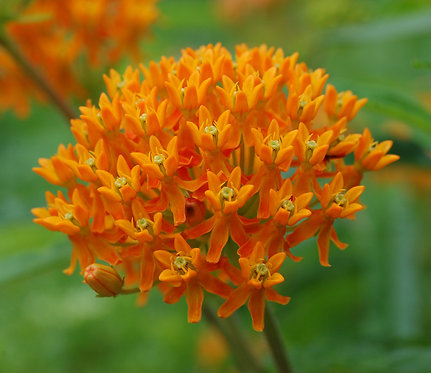 Butterfly Weed: a.tuberosa 3 Quart Pot