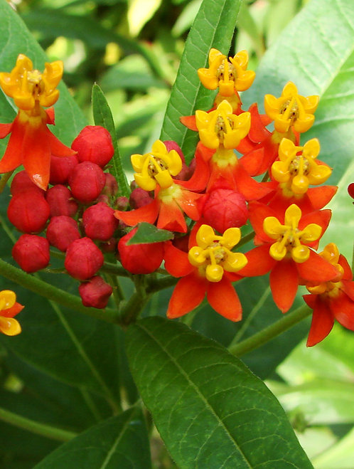 Tropical Milkweed: a. curassavica Quart pot