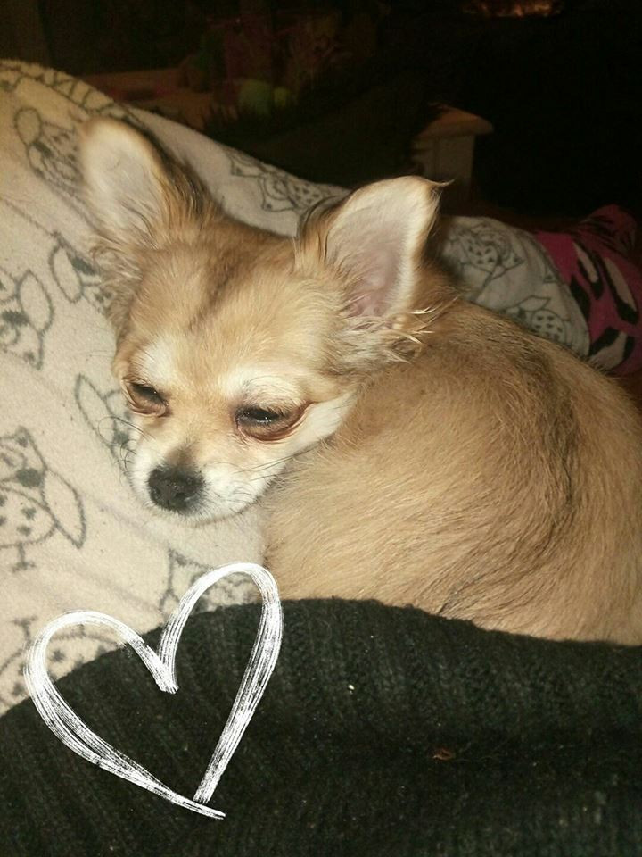 Nyxie, My beautiful Manifested Chihuahua.