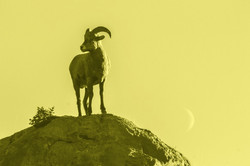 goat new moon yellow wash