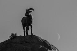 goat new moon