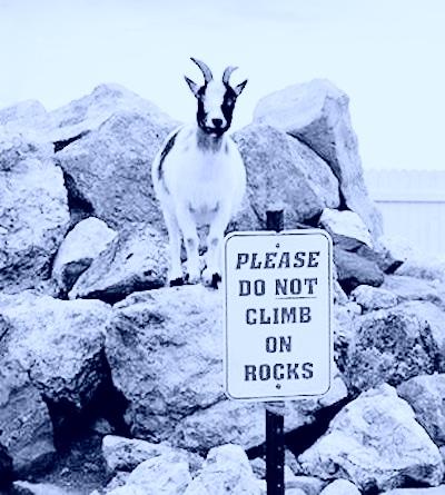 goat on rocks violet