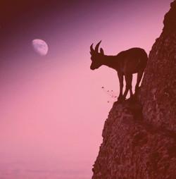 goat moon rose