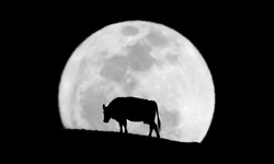 cowmoon by Andrew Bohan