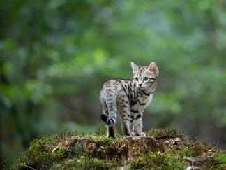 Kitten Bengaal