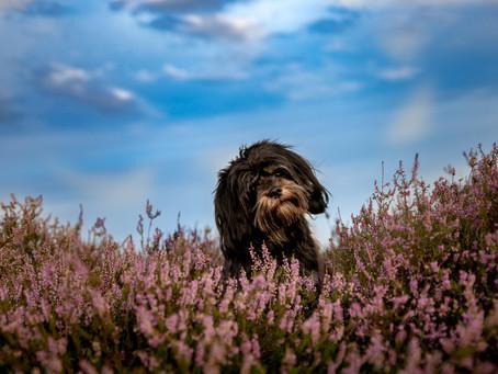 Een honden fotoshoot op locatie, hoe werkt dat?