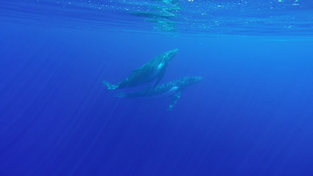 Whale Watching on Rarotonga!