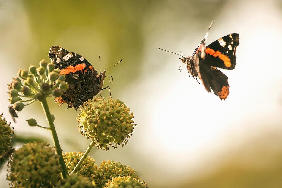 Two black orange butterflies_edited.jpg