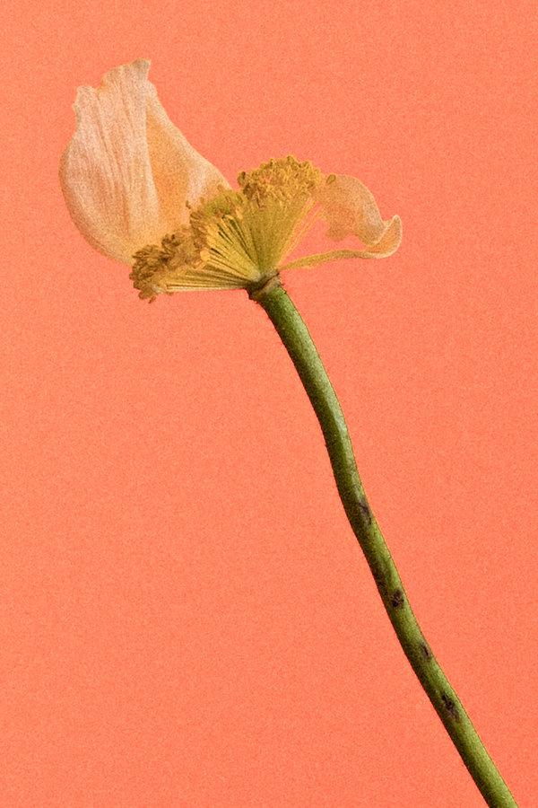 poppy-5.jpg