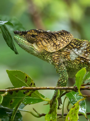 Amber Mountain Chameleon; Calumma amber. Endemic to the mountain