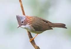 Indochinese Yuhina, a new bird for Charley