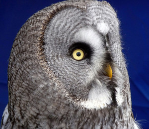 Great Gray Owl face