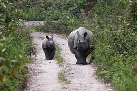 Indian Rhinoceros in Kaziranga, India