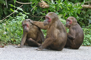 Stump-tailed Macaque. Don't they look angry?!