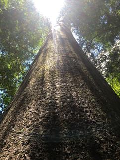 Perrier's Baobab