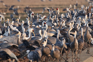White-naped & Hooded Cranes on their wintering grounds