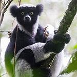 Indri3_fb.jpg