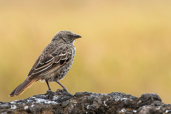 Rufous-tailed Weaver_fb.jpg