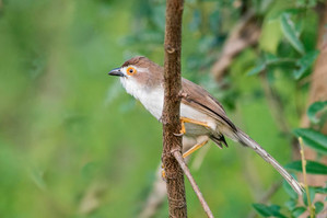 Yellow-eyed Babbler, another score for babbler-boy