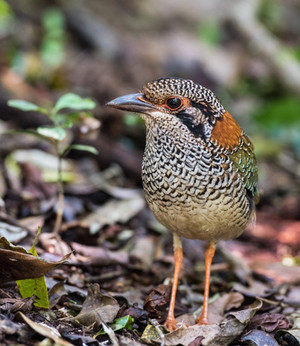 Scaly Ground-Roller