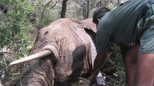 Putting a tracker on an African Elephant