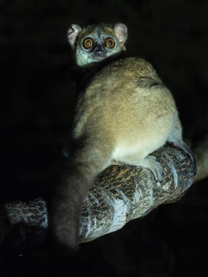 Critically Endangered Northern Sportive Lemur