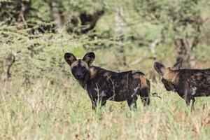 African Wild Dog in Tanzania