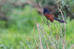 Madagascar Coucal, the sound of a rainy afternoon on the Orangea peninsula, and this week's natural sound