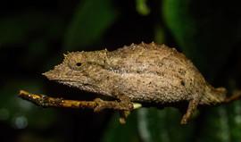 Palleon nasus (Elongate Ancient Leaf Chameleon)