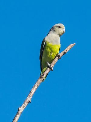 Gray-headed Lovebird, a mini parrot