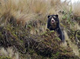 Spectacled (Andean) Bear