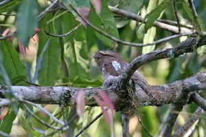 Blyth's Frogmouth on its tiny nest