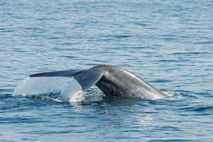 Blue Whale in Sri Lanka