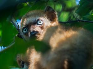 Blue-eyed Black Lemur young female