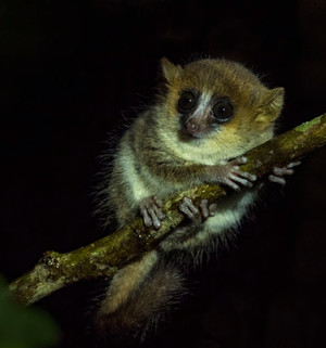 Undescribed Mouse-Lemur at Bemanevika
