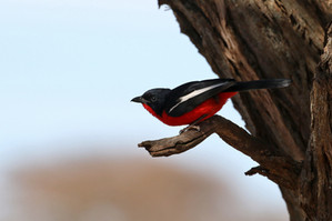 Crimson-breasted Shrike, this week's natural sound