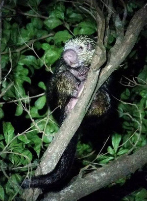 #4 Prehensile-tailed Porcupine