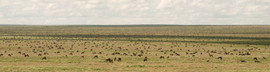 Multiply by 100 or more for the full scope of the Serengeti Wildebeest herd